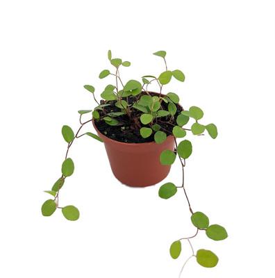 """Biblical Angel Vine - Muehlenbeckia - Houseplant/Terrarium/Fairy Garden-2.5"""" Pot"""