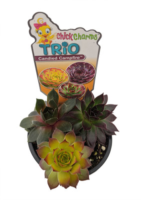 "Chick Charms® Trio - Candied Campfire™ - Sempervivum - 3.5"" Pot"