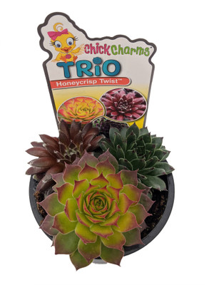 "Chick Charms® Trio - Honeycrisp Twist™ - Sempervivum - 3.5"" Pot"