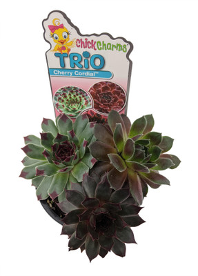 "Chick Charms® Trio - Cherry Cordial™ - Sempervivum - 3.5"" Pot"