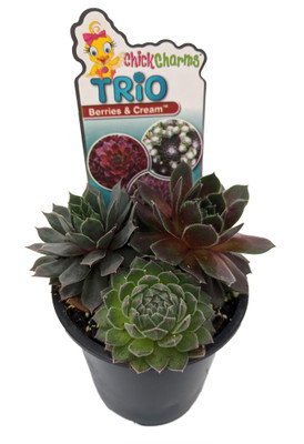 "Chick Charms® Trio - Berries and Cream™ - Sempervivum - 3.5"" Pot"