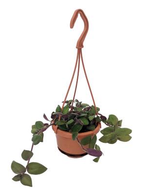 """Baby Bunny Bellies Wandering Jew/Tradescantia - 4"""" Mini Hanging Basket"""