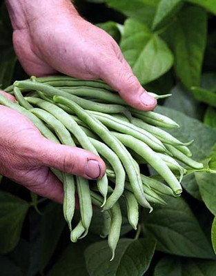 Blue Lake Bush Bean - 400 Seeds