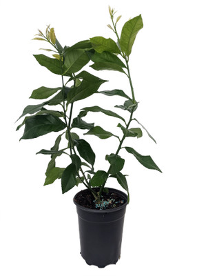 "Eureka Lemon Bush Form - 5"" Pot - No Shipping to Tx, Fl, Az, Ca, La, Hi"