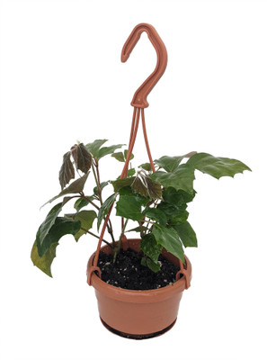 "Grape Ivy Plant - Cissus rhombifolia - 4"" Mini Hanging Basket - Great House Plant"
