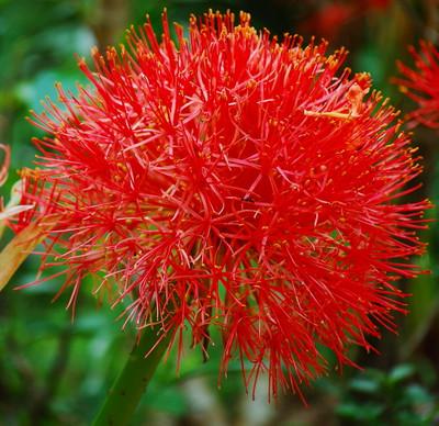 African Blood Lily Bulb - Scadoxus multiflorus - 16/18cm Bulb