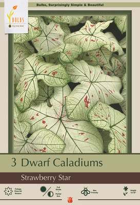 Strawberry Star Caladium 3 Bulbs - White Foliage with Red Speckles - #1 Size Bulb