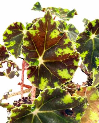 "Bower's Black Begonia Plant - 2.5"" Pot - Terrarium/Fairy Garden/House Plant"