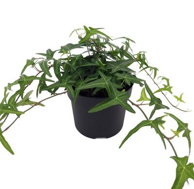 """Sagittarius English Ivy -Hedera helix Sagittifolia - 5"""" Pot-Easy to Grow Indoors"""