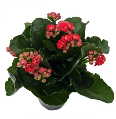 """Red Calandiva - 4"""" Pot - Budded Kalanchoe - Double Red Blooms"""