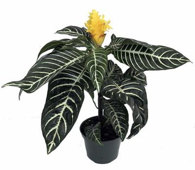 "Zebra Plant - Aphelandra - Exotic & Unusual House Plant - 4.5"" Pot"