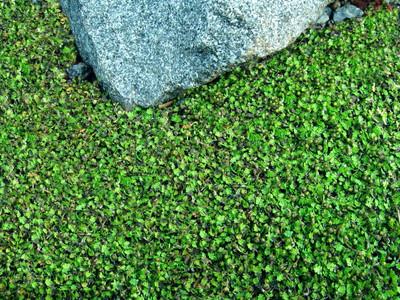 "Tiny Tim Fairy Fern - Leptinella - 2.5"" Pot - Terrarium/Fairy Garden/Houseplant"