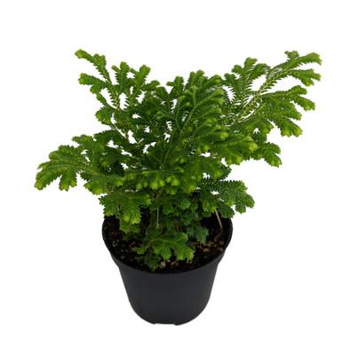 """Frosty Fern - Selaginella - Easy to Grow - 2.5"""" Pot"""