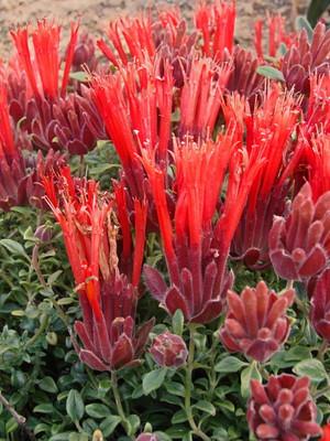 "Mint on Fire Coyote Hummingbird Mint -Scarlet Monardella Marian Sampson- 4"" Pot"