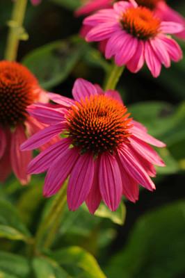 Pow Wow Wild Berry Coneflower - Echinacea - Gallon Pot