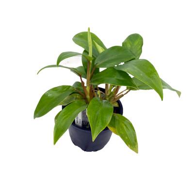 "Eva Philodendron - Easy to Grow - 4"" Pot - Trending"