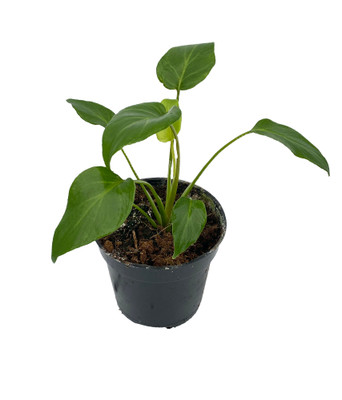 """Xanadu/Enzie Philodendron - Easy to Grow House Plant - 4"""" Pot"""