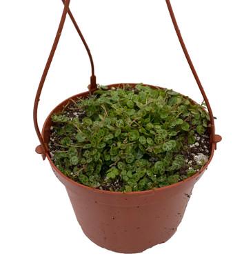 """String of Turtles - Peperomia prostrata - 6"""" Hanging Basket"""