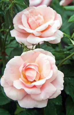 Peachy Knock Out® Rose - Newest Knock Out Rose - Bare Root