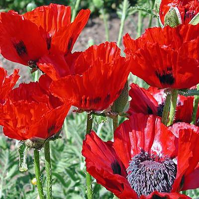 Beauty of Livermere Poppy - Papaver - Hardy - Quart Pot