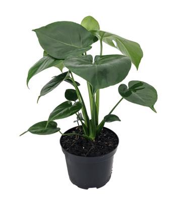"""Hirt's® Split Leaf Philodendron 6"""" Pot - Monstera - Edible Fruit Pineapple Taste"""