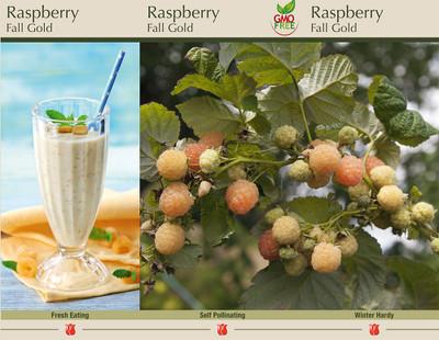 Fall Gold Everbearing Raspberry Plant - Rubus idaeus - One Year Bare Root
