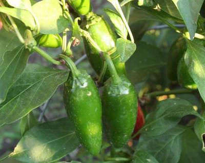 """Mucho Nacho Jalapeno Pepper Plant - 2.5"""" Pot"""