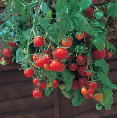 """Tumbling Tom Red Cherry Tomato Plant 2.5"""" Pot - Great in Baskets or Pots"""