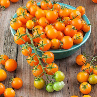 "Sungold Hybrid Tomato Plant - Super Sweet - 2.5"" Pot - WOW!"