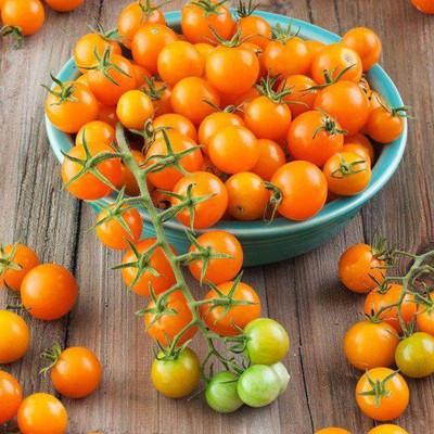 "Sungold Tomato Plant - Super Sweet - 2.5"" Pot"