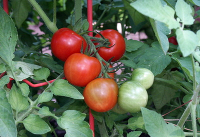 "Fourth of July Tomato Plant - Ripens in 44 days! - 2.5"" Pot"