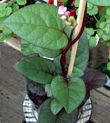 "Malabar Red Spinach Plant - 2.5"" Pot - Fresh Spinach Year Round Indoors"
