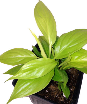 "Gold Peace Lily Plant - Spathyphyllium - Great House Plant - 2.5"" Pot"