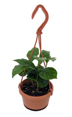 "Arabica Coffee Bean Plant - 4"" Mini Hanging Basket"