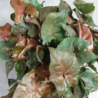 "Bronze Arrowhead Plant - Syngonium/Nepthytis - 4"" Mini Hanging Basket"
