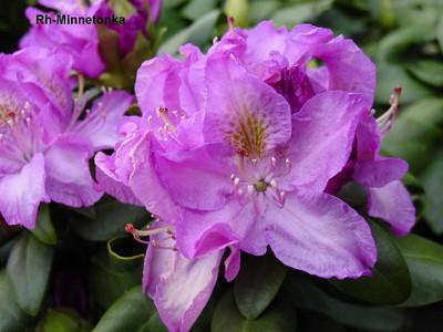 "Minnetonka Rhododendron - Very Hardy - Spectacular - 4"" Pot"