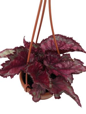 "Spitfire Rex Begonia Plant - 4"" Mini Hanging Basket - Great Houseplant"