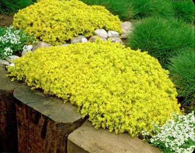 """Goldmoss Sedum - 3.7"""" Pot - Sedum sexangulare - Stonecrop Succulent"""