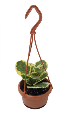 """Marble Rubber Tree - Peperomia obtusifolia - 4"""" Hanging Basket"""