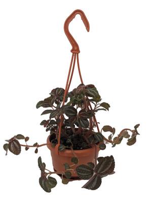 "Friendship Plant - Pilea involucrata - 4"" Mini Hanging Basket - Easy to Grow"