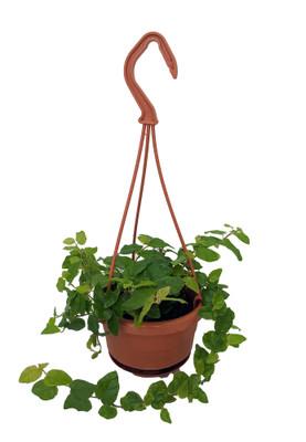 "Green Creeping Fig Plant - 4"" Mini Hanging Basket"