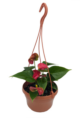 """Red Heart Anthurium Plant - 6"""" Hanging Basket - Easy Blooming House Plant"""