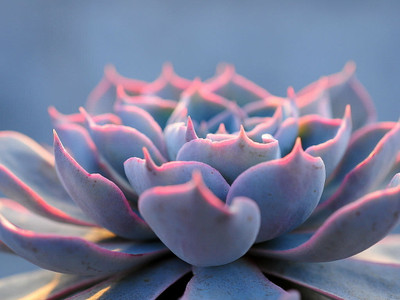 "Peacock Desert Rose - Echeveria peacokii - Easy to Grow - 2.5"" Pot"
