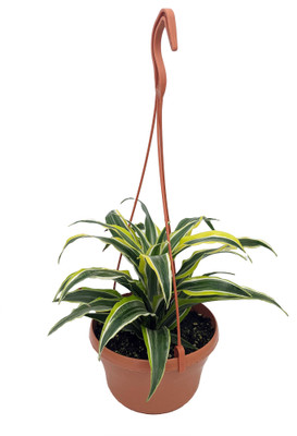 "Lemon Lime Madagascar Dragon Tree - Dracaena - 6"" Hanging Basket"