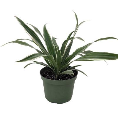 """White Stripe Dragon Tree - Dracaena warneckii - 6"""" Pot - Easy to Grow House Plant"""