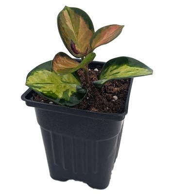 "Extremly Rare Lisa Wax Plant - Hoya australis 'Lisa' -4"" Pot-Collector's Series"
