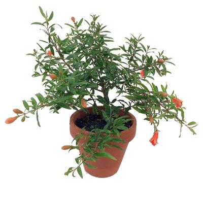 "Dwarf Pomegranate Plant - Punica -Bonsai/Houseplant/Outdoors- Edible-4"" Clay Pot"