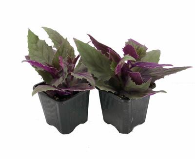 "Purple Passion - 2 Live Plants 3"" Pots - EROTIC - Gynura - Indoors"