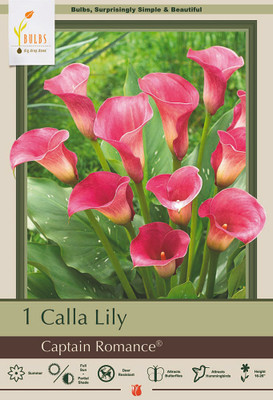 Captain Romance Calla Lily Bulb - Zantedeschia - 14/16 cm - Soft Raspberry Bloom