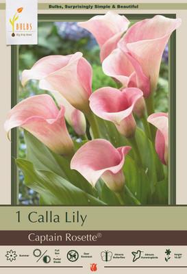 Captain Rosette Calla Lily Bulb - Zantedeschia - 14/16 cm - Creamy Pink